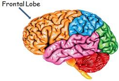 frontallobe